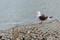 Dolphin Gull standing on a section of chicken wire thrown out in the river, Ushuaia, Argentina stock image