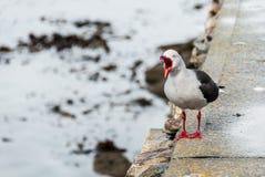 Dolphin gull (Larus scoresbii) single bird on beach, Falklands Stock Photography