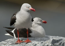 Dolphin Gulls. Sharing a rock royalty free stock image