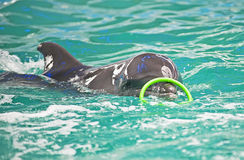 Dolphin has got a green ring Royalty Free Stock Image