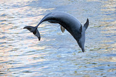 Dolphin. The dolphin has jumped out of the water stock photography