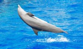 Dolphin having fun. Dolphin having fun in clear blue sea Stock Image
