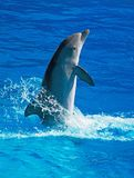 Dolphin having fun. Dolphin having fun in clear blue sea. Place for text Stock Image
