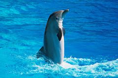 Dolphin having fun. Dolphin having fun in clear blue sea. Place for text Royalty Free Stock Photo