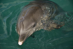 Dolphin head Royalty Free Stock Images