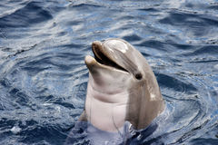 Dolphin. Head of  dolphin  with an open mouth in the blue water Stock Photography
