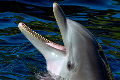 Dolphin Head. Dolphin with open snout. This looks out of the water Royalty Free Stock Image