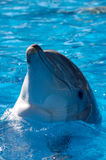 Dolphin Headshot. Headshot of a dolphin as it swims in wonderfully blue water Stock Image