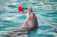 Dolphin holding flower in mouth Stock Photography