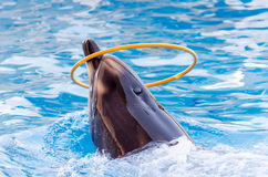 Dolphin with a hoop. Dolphins swimming is very perfect Stock Photography