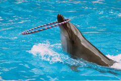 Dolphin with a hoop in the sea water Royalty Free Stock Photography