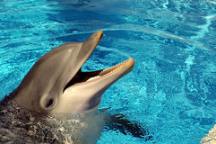 Dolphin in hotel pool. Dolphin in pool being feed royalty free stock photography