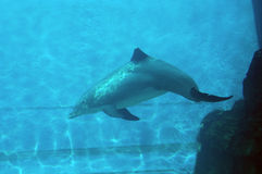 Dolphin I. A dolphin swimming Royalty Free Stock Photography