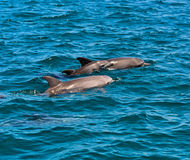 Dolphin Indian Ocean Stock Image