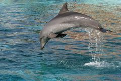 Dolphin Jump. Bottlenose dolphin leaping out of the blue water Royalty Free Stock Photo