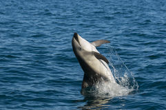 Dolphin Jump. Dusky dolphin jump, Patagonia, Argentina Stock Photography