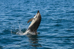 Dolphin Jump. Dusky Dolphin jump, Patagonia, Argentina Royalty Free Stock Photography