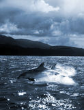 Dolphin jump out of the water stock images