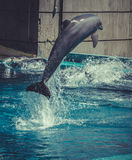 Dolphin jump out of the water in pool Royalty Free Stock Photos