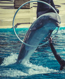 Dolphin jump out of the water in pool Stock Image