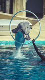 Dolphin jump out of the water in pool Stock Photography