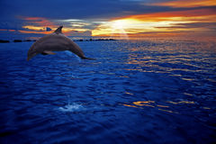 Dolphin jumping. A dolphin jumping in the sunset on Curacao Stock Image