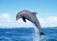 Dolphin Jumping Royalty Free Stock Photography
