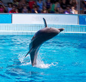 Dolphin jumping Royalty Free Stock Photo