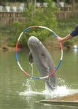 Dolphin jumping. An Irrawaddy dolphin jumping through a hoop Royalty Free Stock Photos