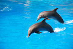 Dolphin jumping. Two dolphin jumping andf playing at an aquarium Stock Photography