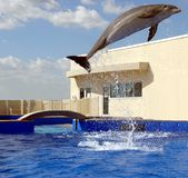 Dolphin jumping. Photographed dolphin jumping at marine center in Florida stock photos