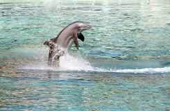 Dolphin jumping. Bottle Nosed Dolphin jumping out of the water royalty free stock images
