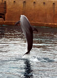 Dolphin jumping. During show stock photography