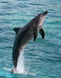 Dolphin Jumping Royalty Free Stock Image