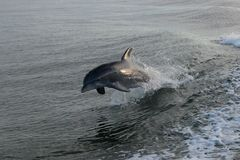 Dolphin jumping. Beautiful Dolphin jumping in the coast of Tybee Island GA in the summer time stock images