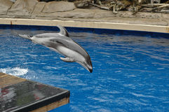 Dolphin jumping cheerfully Royalty Free Stock Photography