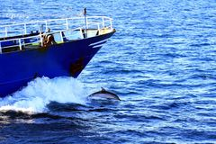 Dolphin jumping close to the bow of a fishi8ng boat. Fishing boat sailing in open waters with a common dolphin jumping in the bow royalty free stock images