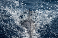 Dolphin while jumping in the deep blue sea. Dolphin detail of fin jumping outside the sea stock images