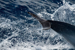 Dolphin while jumping in the deep blue sea. Dolphin detail of fin jumping outside the sea stock photography