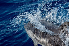 Dolphin while jumping in the deep blue sea. Dolphin detail of fin jumping outside the sea royalty free stock photography