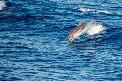 Dolphin while jumping in the deep blue sea. Happy striped dolphin jumping outside the sea at sunset royalty free stock photo