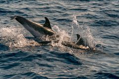 Dolphin while jumping in the deep blue sea. Happy striped dolphin jumping outside the sea at sunset stock images