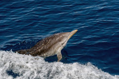 Dolphin while jumping in the deep blue sea. Striped dolphin jumping outside the sea royalty free stock photography