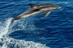 Dolphin while jumping in the deep blue sea. Striped dolphin jumping outside the sea royalty free stock images