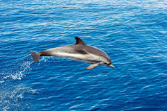 Dolphin while jumping in the deep blue sea. Striped dolphin jumping outside the sea stock photo