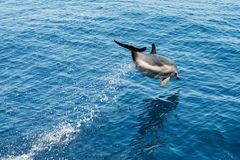 Dolphin while jumping in the deep blue sea. Striped dolphin jumping outside the sea stock photos