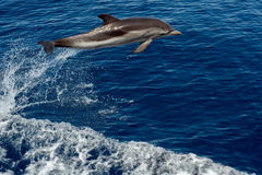 Dolphin while jumping in the deep blue sea Royalty Free Stock Image