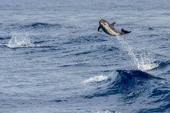 Dolphin while jumping in the deep blue sea. Striped dolphin jumping outside the sea royalty free stock photo