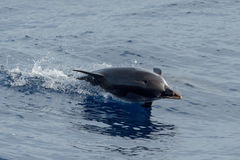 Dolphin while jumping in the deep blue sea. Striped dolphin jumping outside the blue sea royalty free stock photography
