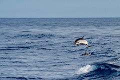 Dolphin while jumping in the deep blue sea. Striped dolphin jumping outside the blue sea stock photos